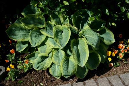 hosta.bruskur 12