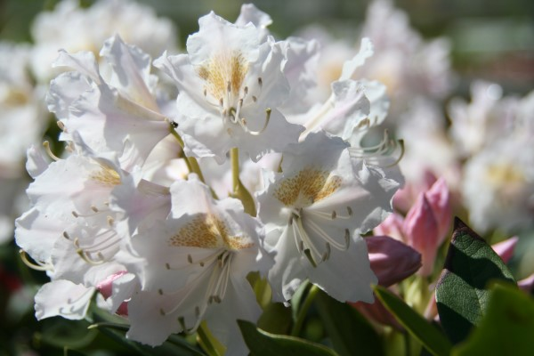 rhododendron.cunninghams.white.lyngros.cunninghams.white 7
