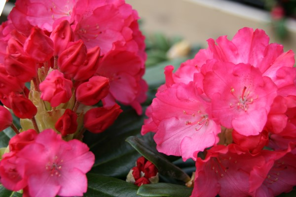 rhododendron.yak.morgenrot.lyngros.morgenrot 7